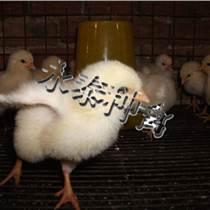 罗曼粉蛋鸡厂家