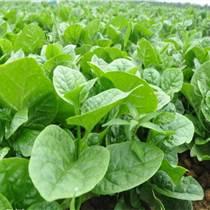 济南蔬菜种子批发 木耳菜种子