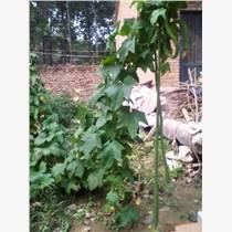 4米超長太空絲瓜種子