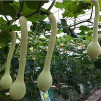 微型观赏南瓜种子  龙凤瓜种子质量好