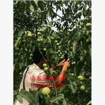 供应核桃树冠核核桃树产量高?#25214;?#22823;高产核桃树价格