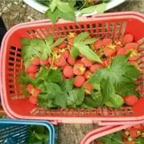 供應神奇野生紅樹莓苗種植技術栽培