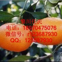 甘平柑桔苗,红美人柑桔苗,爱媛38号柑橘苗,爱媛28