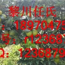 綠橙苗,瓊中綠橙苗,甜橙苗,江西甜橙苗,贛南臍橙苗
