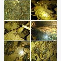 蝎子養殖加盟