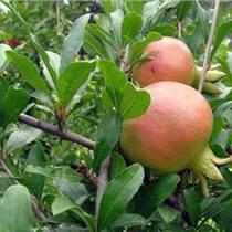 农业致富信息 软籽石榴种苗