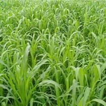牧草种子 墨西哥玉米草种子