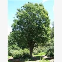 10公分柳樹11公分柳樹