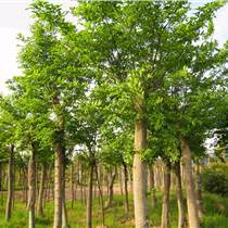 8公分柳树9公分柳树