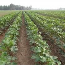 省工高产棉花种子套种棉种棵斤棉