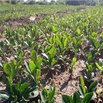 呼伦贝尔白鲜皮种子产地供应种苗
