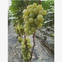 温室金秋玫瑰葡萄