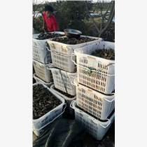 安徽哪里有菱角种子种苗出售