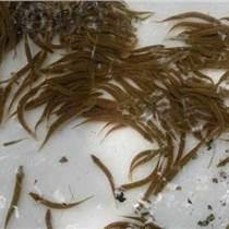 泥鳅苗多少钱一斤哪里有泥鳅卖 小龙虾种苗批发