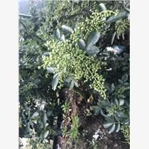 合川藤椒苗木種植時間 合川藤椒品種