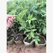 重慶藤椒苗木種植時間 重慶藤椒品種
