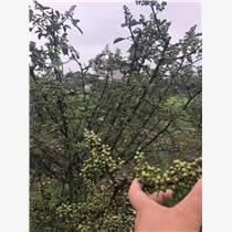 藤椒種植季節 種植藤椒需要注意的問題