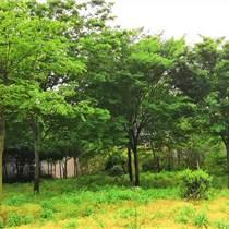 供應2-30公分櫸樹 10公分紅櫸樹價格 質優價低歡