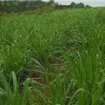 高丹草春夏季种植的多吗