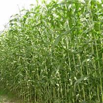 甜高粱的種植技術--高優質青飼料