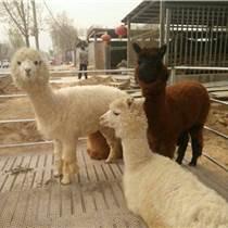 供应羊驼羊驼幼崽山东仙农养殖场