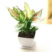 綠植出租盆栽植物出售供應商