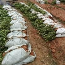 優質高產油茶苗品種,白花油茶樹苗,江西油茶苗價格