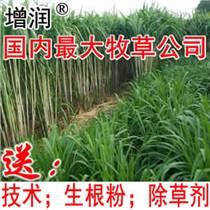 增潤新型皇竹草種節 皇竹草種子種苗 多年生養殖牧草