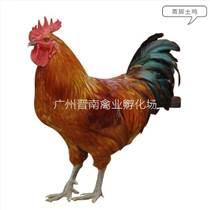 快大青脚麻鸡批发市场 正确青脚土鸡价格 购买公鸡苗散