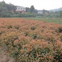 供應四季紅苗圃基地苗木紅葉石楠10公分紅葉石楠價格