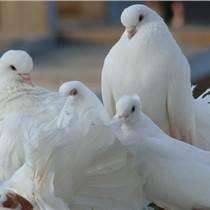 廠家直銷肉鴿種鴿包成活包回收免費提供養殖技術贈送鴿籠