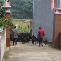 張家界湘潭永州郴州婁底長沙黑山羊企業致富項目