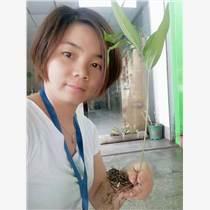 黃精種植技術種苗塊莖批發