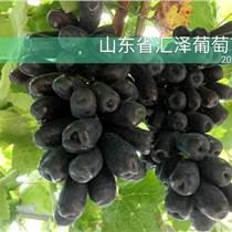 山東匯澤葡萄銷售甜蜜藍寶石葡萄苗基地批發價