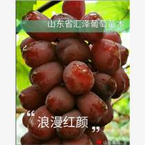 山東基地批發浪漫紅顏葡萄苗價格