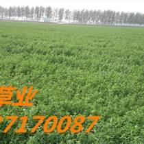 鄭州供應進口苜蓿種子 紫花苜蓿種籽 多年生牧草種子