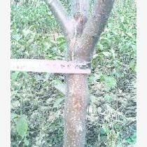 出售蘋果苗  2-3-4-5公分蘋果樹1354659