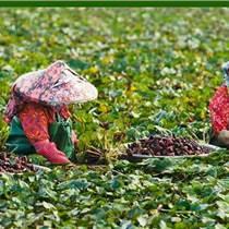 昆明哪里有菱角種子種苗出售
