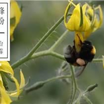 番茄草莓授粉丨瓜果蔬菜授粉丨熊蜂授粉能增產丨嘉禾源碩