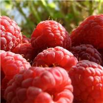 美國進口紅樹莓濃縮汁廠家供應