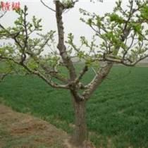 8公分9公分山楂樹低價出售