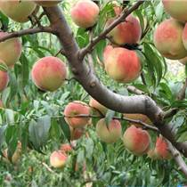 供應各種規格占地果樹綠化樹蘋果樹桃樹梨樹