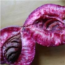 供應桃樹苗新品種紫桃樹苗批發
