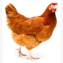 湖南禽類雞養殖