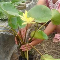 水生花卉睡蓮苗批發、睡蓮苗價格
