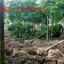 黄山栾树,常年批发供应,各种规格齐全