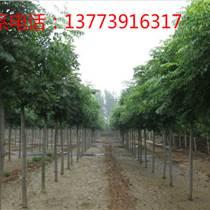 黃山欒樹價格優惠,常年批發供應