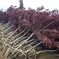 紅葉碧桃常年批發供應,苗圃大量供應