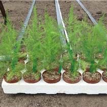 蘆筍種子種植河南蘆筍種子哪里買提供資料