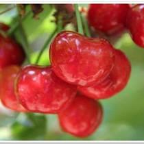進口針葉櫻桃濃縮汁供應